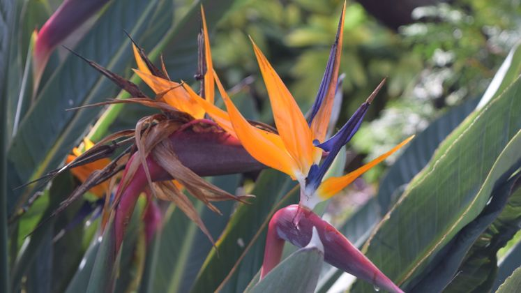 Bird of Paradise at Xeriscape Garden