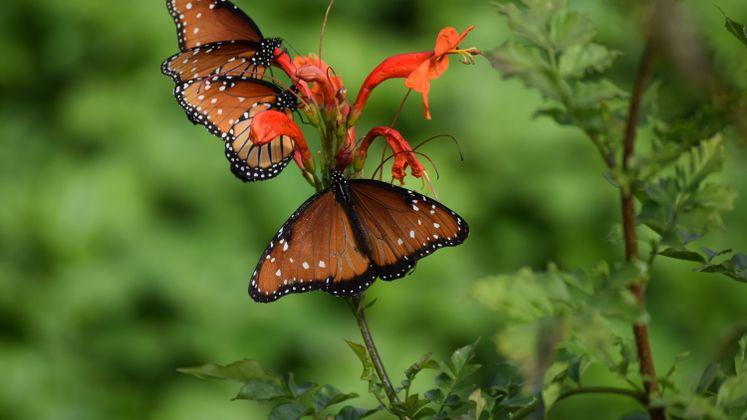 Monarch Butterflies at Xeriscape Garden