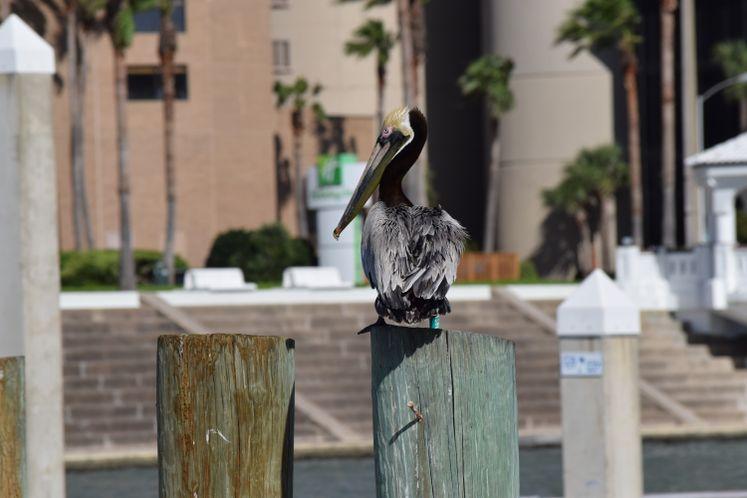 Pelican at CC Marina