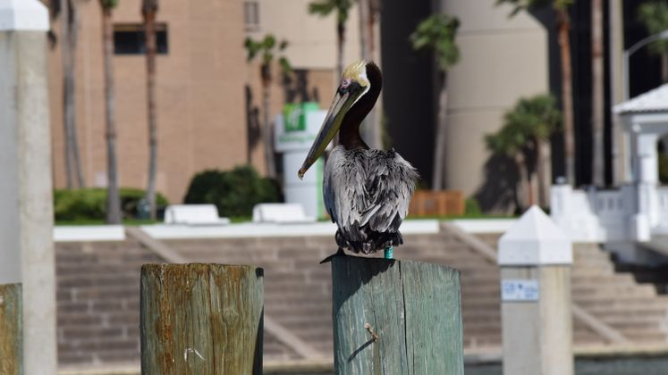 Pelican at CC Marina