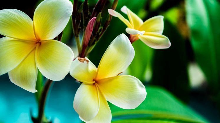 Plumeria, Hawaii's Flower Flourishes in South Texas