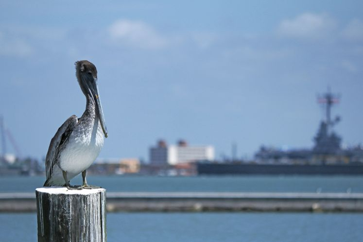Brown Pelican at the Bay