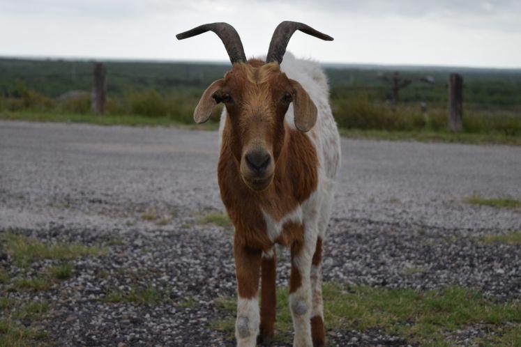 You Goat to be Kidding Me! at Choke Canyon