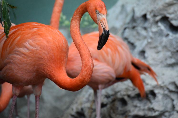 Flamingos at Texas State Aquarium