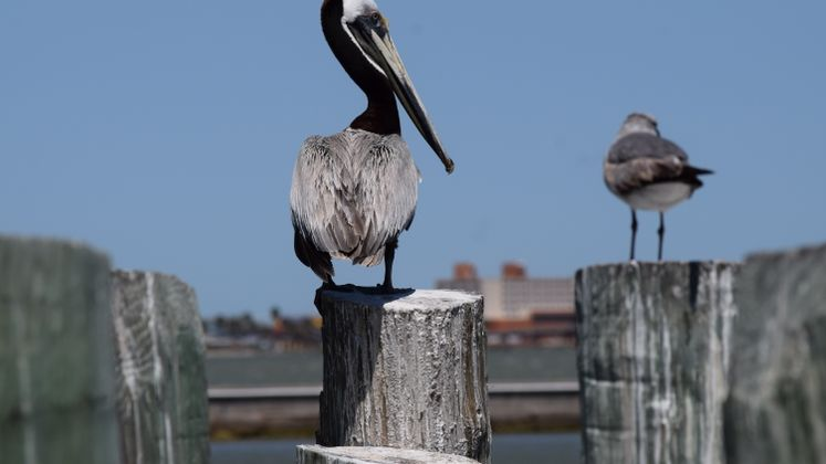 Brown Pelican by the Bay