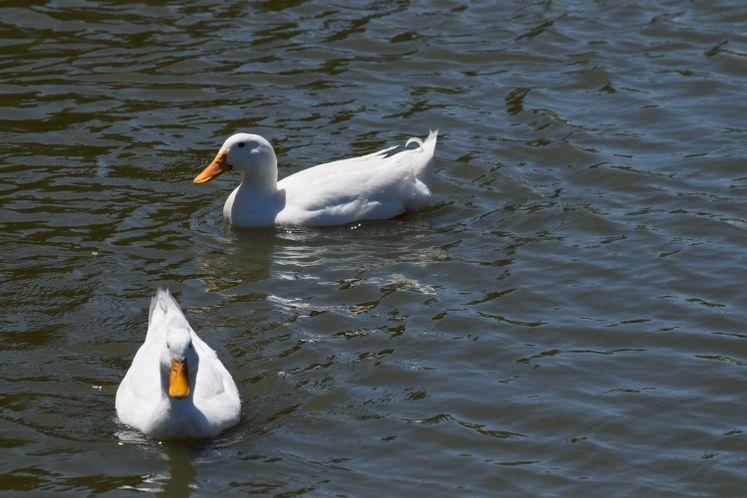Ducks at West Guth Park