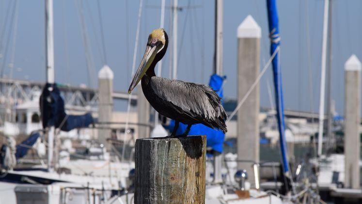 Pelican at Corpus Christi Marina