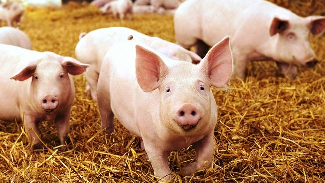 Pork power gets new meaning with Duke Energy deal in N.C.