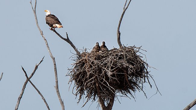 Duke Energy Renewables invests in bald eagle research, education in Oklahoma
