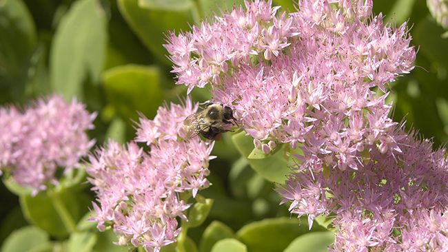 New pollinator garden at Duke Energy Tippecanoe Solar Power Plant in Indiana helps pollinator species thrive