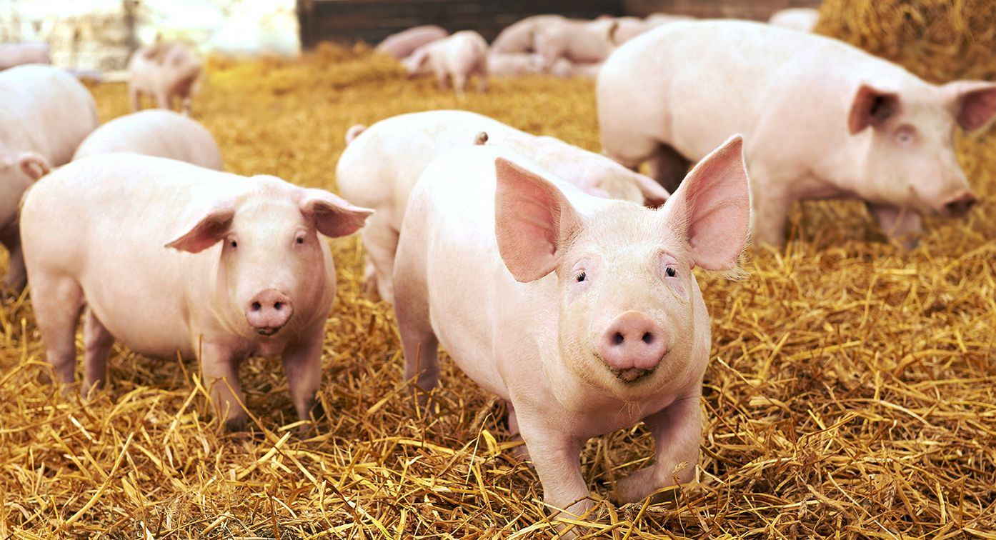 Carbon Pigs 2