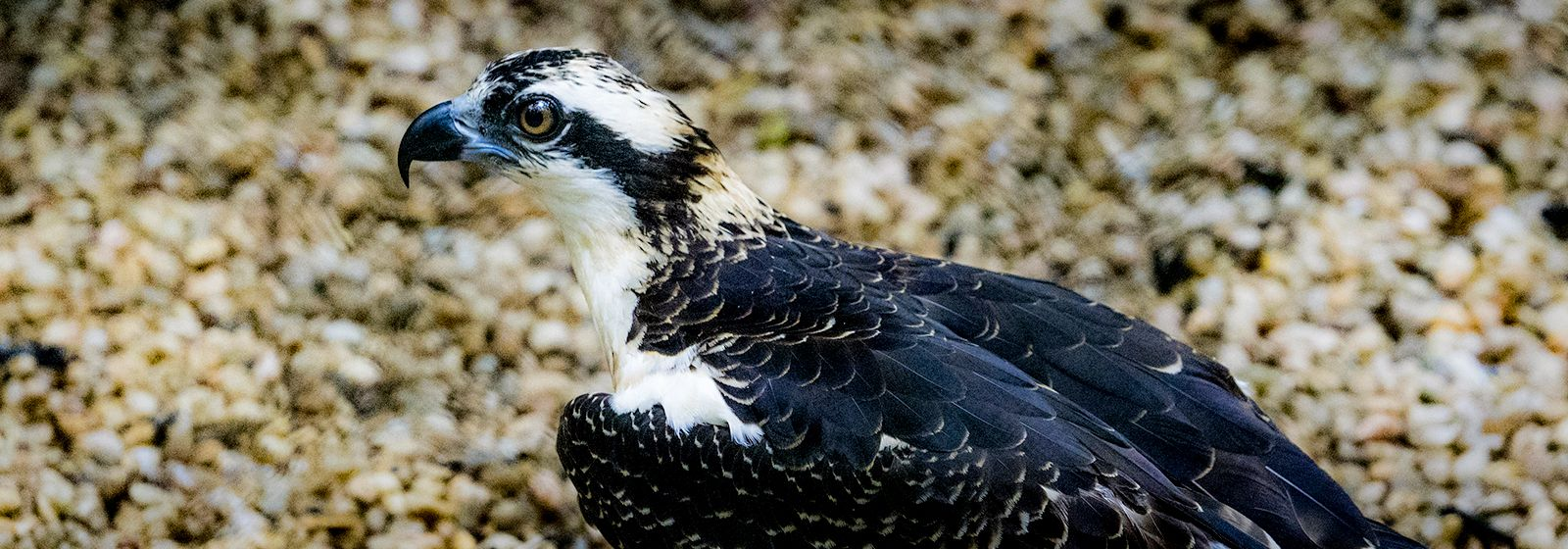 Kip, kip, hooray: The osprey has a name