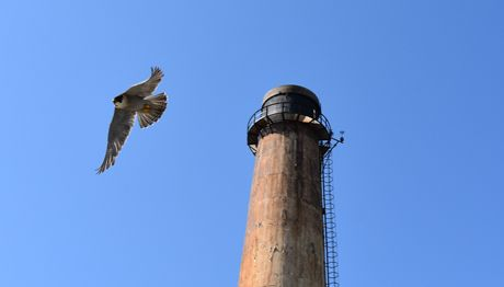 Peregrine Falcon_In_Flight_3_460x262