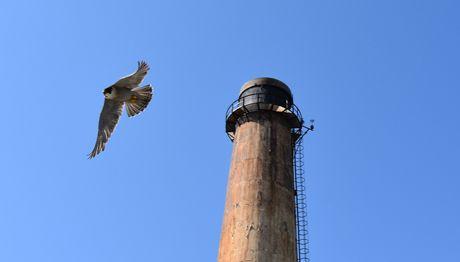 Peregrine Falcon_In_Flight_3_460x262