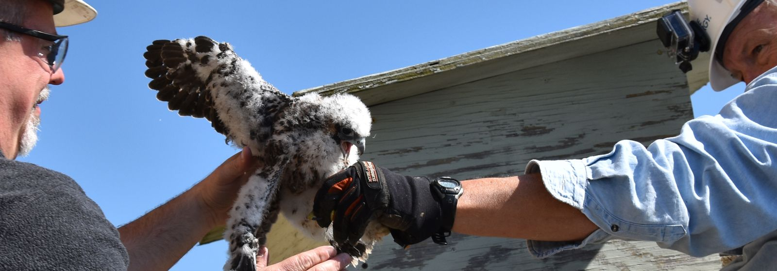 Power plant's falcon chicks are banded together