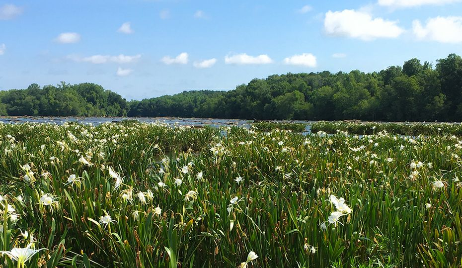 Rare spider lilies beckon on the Catawba River