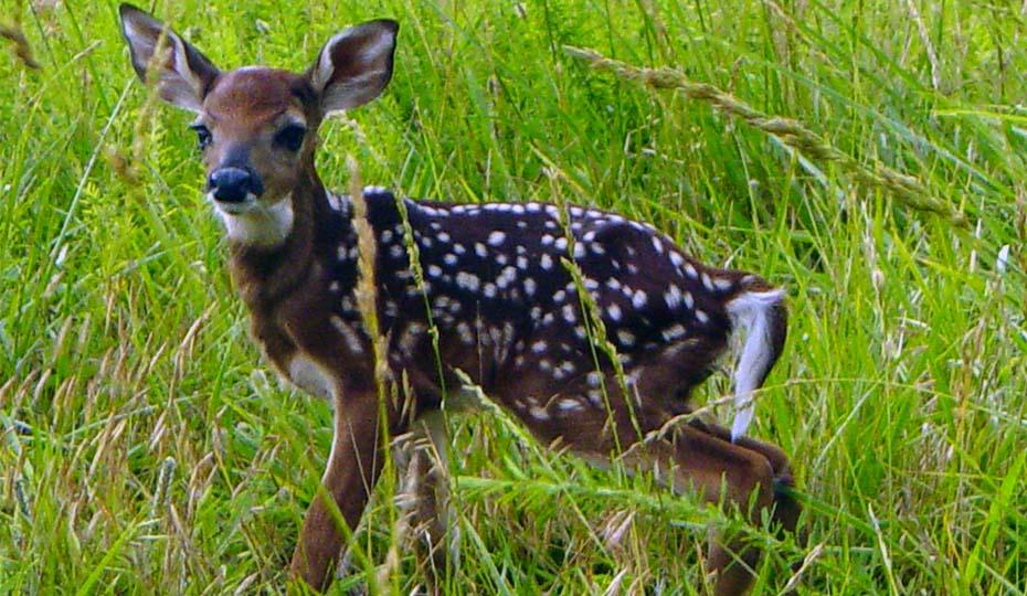 20171025_Harris deer DSC02336