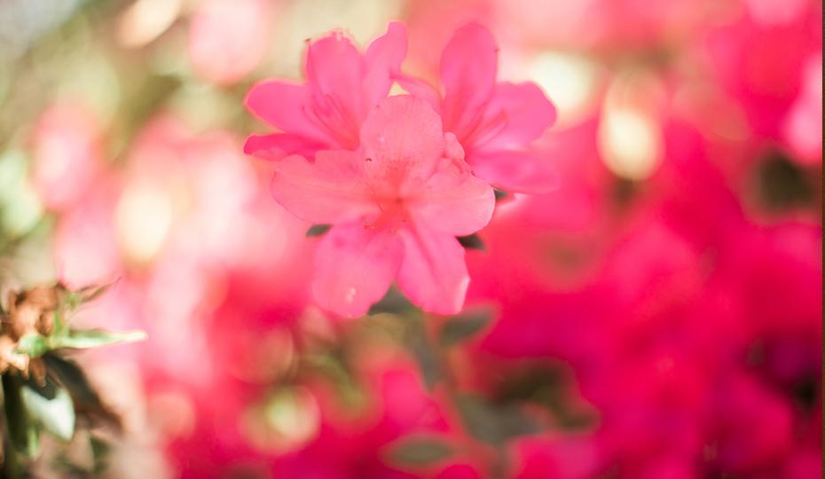 2018-0405-Azalea-flower