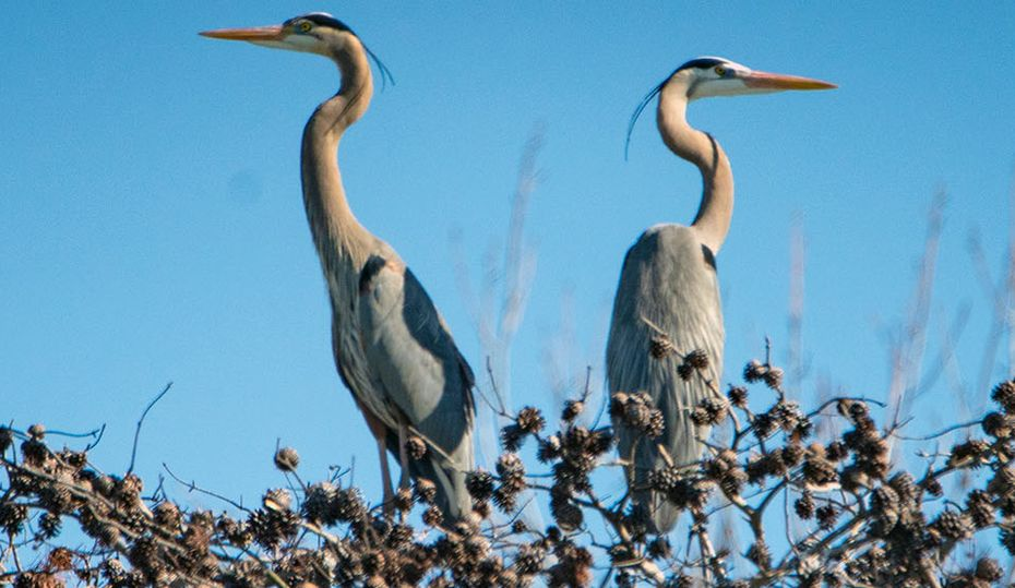 Blue herons' home on the lake protected from erosion