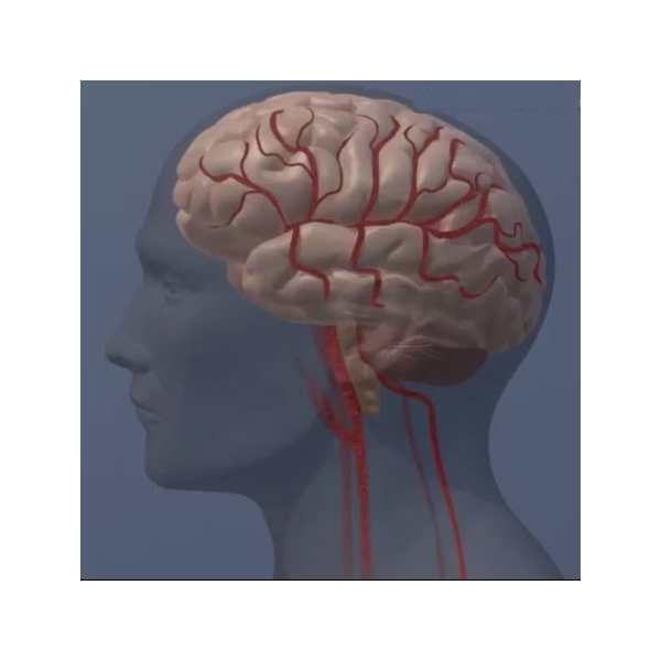 Brain illustration (profile)