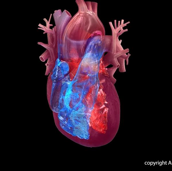 Heart+chambers+illustration