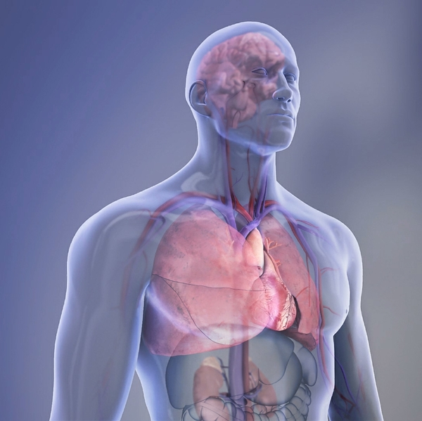 Organs+in+the+body+-+transparent+illustration