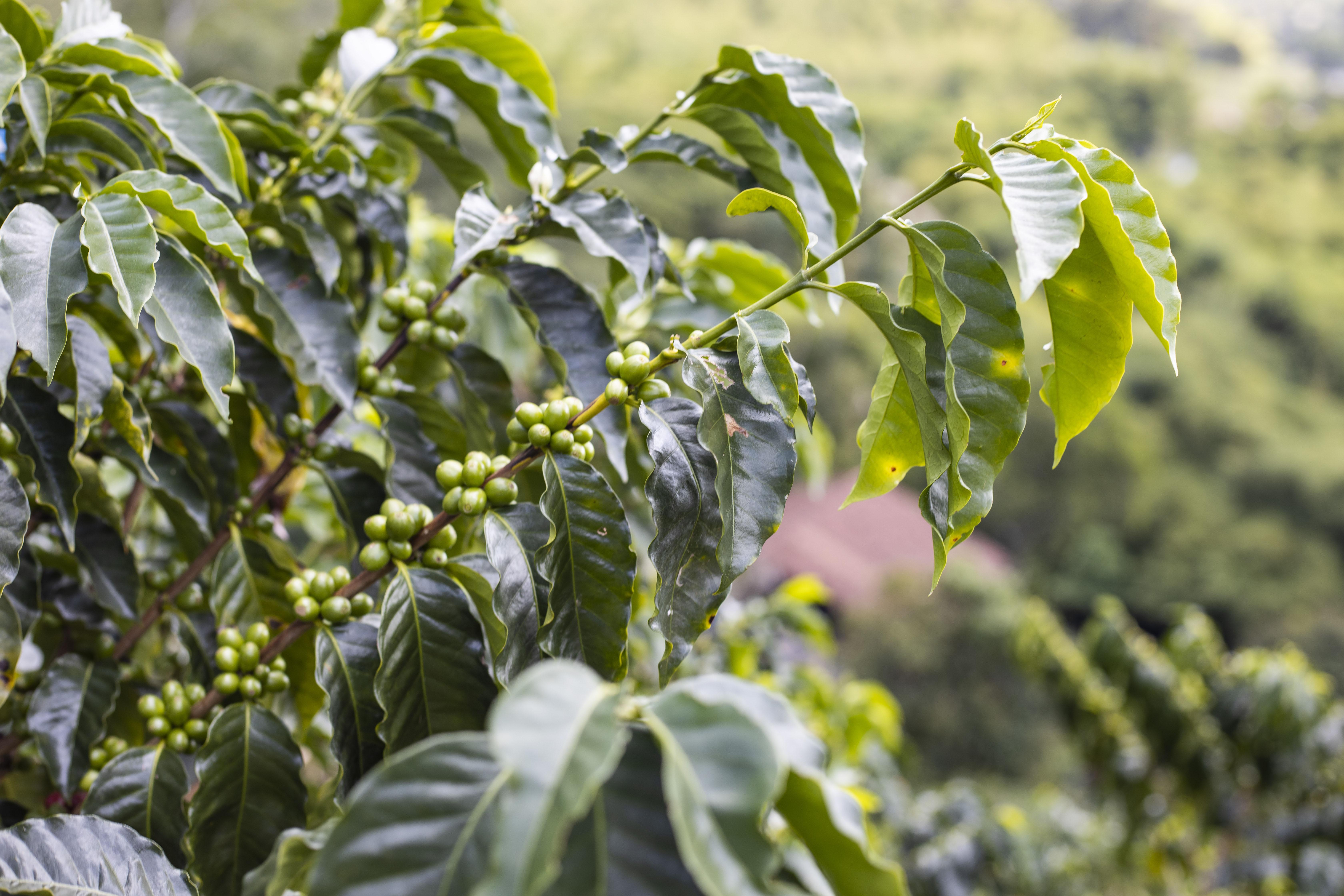 Coffee Sustainability 1