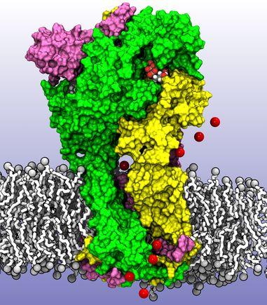 P2X molecular receptor