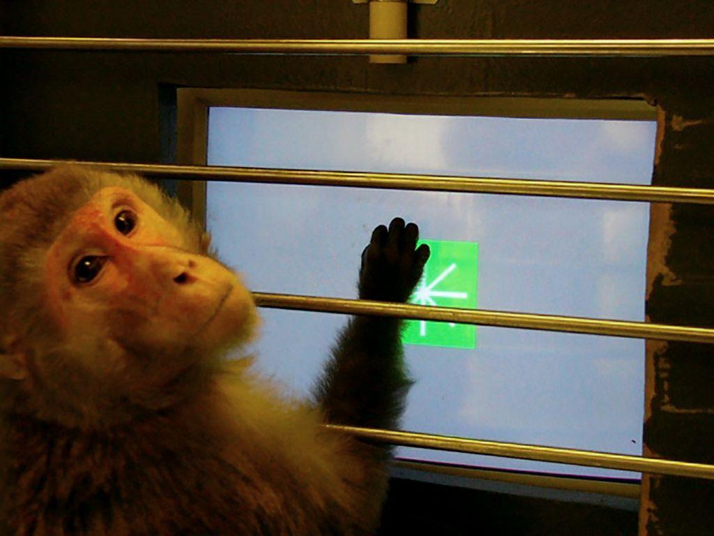 rhesus monkey looking at a computer
