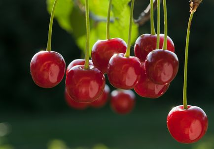 Tart Cherry Juice Reduces Muscle Pain and Inflammation
