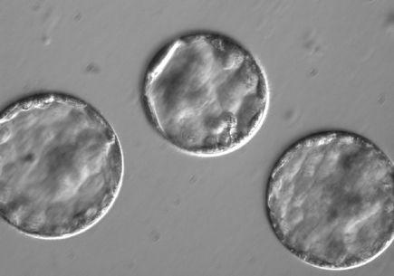 Germline: Blastocyst 3
