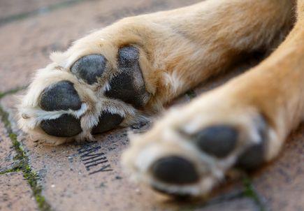 OHSU Doernbecher welcomes 'Davis' to Hospital Facility Dog Program