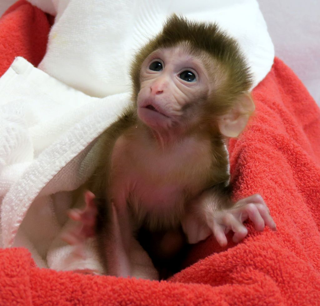 baby monkey in a blanket