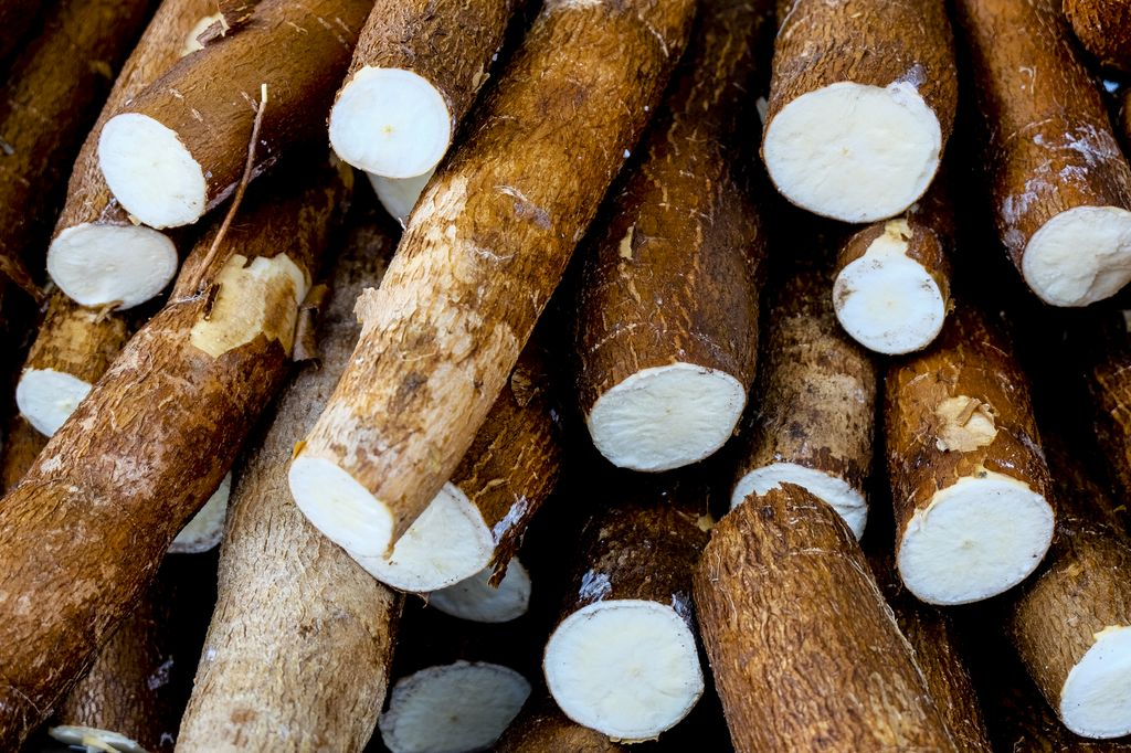 large roots of the cassava plant