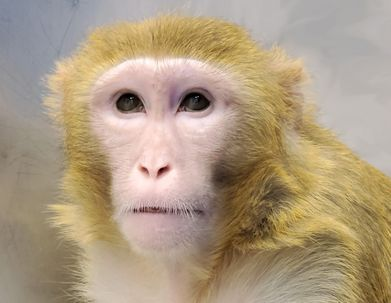 Discovery in monkeys could lead to treatment for blindness causing syndrome