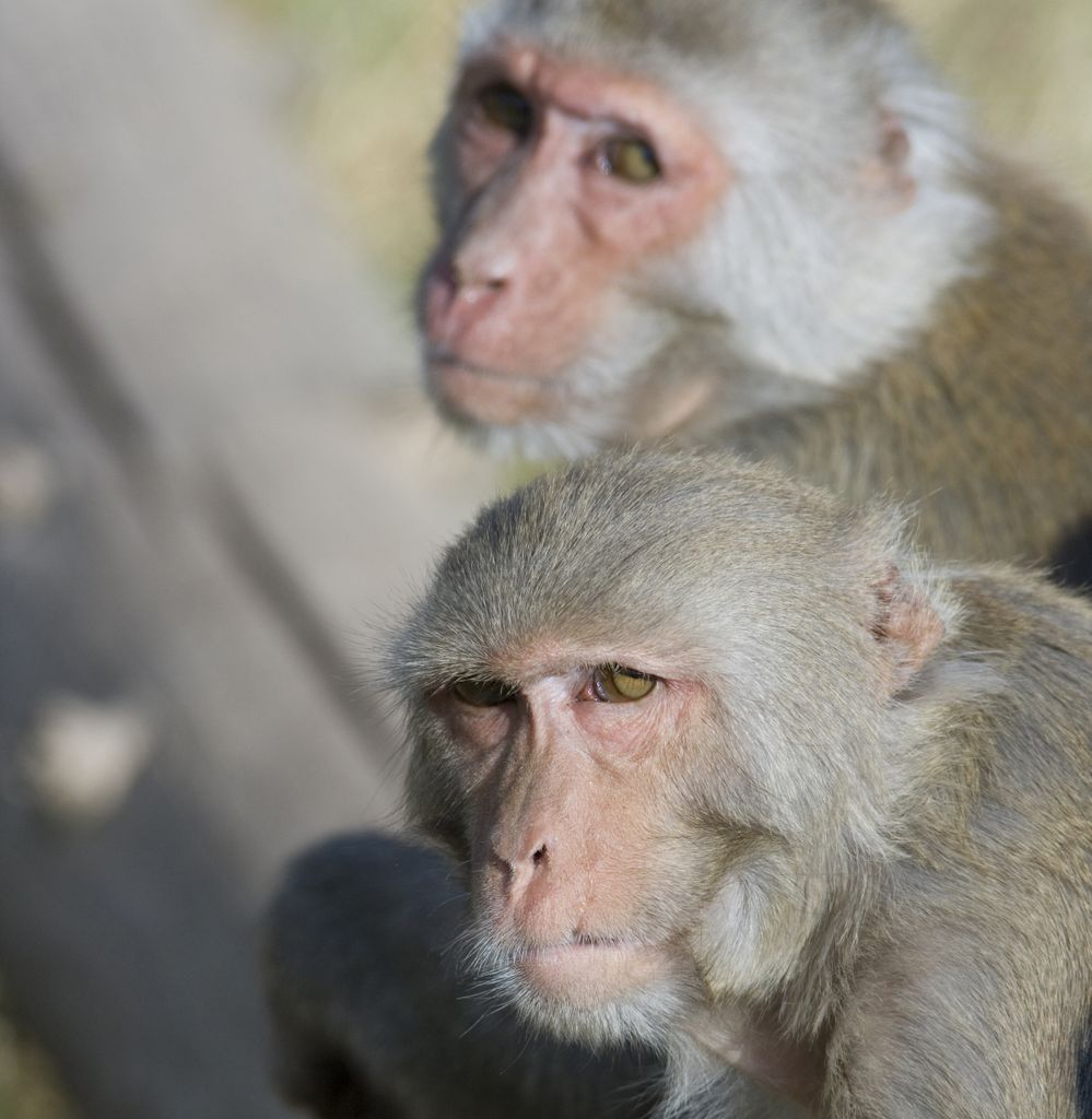 Close-in shot of two older, grey-haired Rhesus macaques' faces