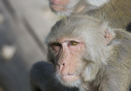 Age-related dementia focus of research at primate center