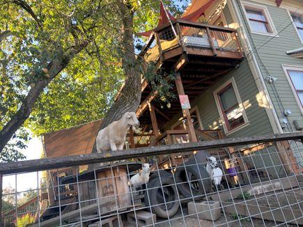 Neighborhood goats