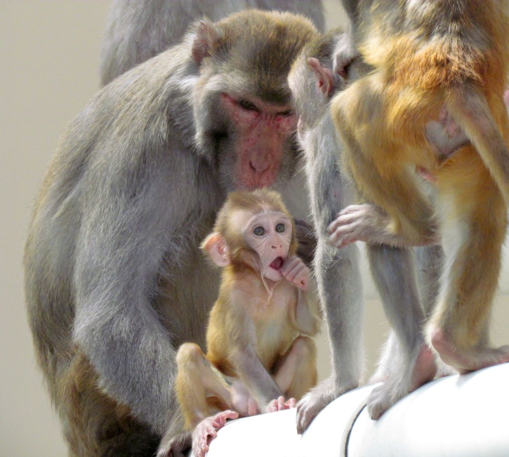 Infant rhesus