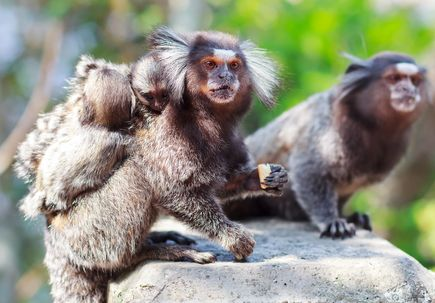 NIH selects OHSU to coordinate national neuroscience research involving marmosets