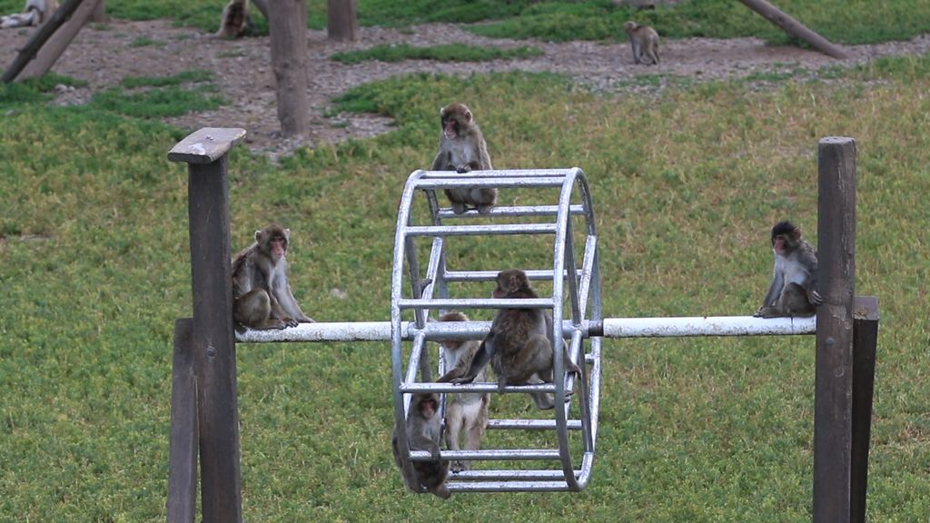Japanese macaques in an outdoor enclosure at the Oregon National Primate Research Center.