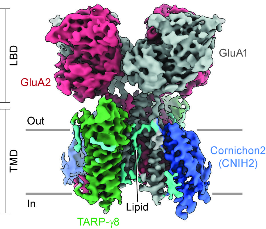 Three-dimensional reconstruction of the hippocampal glutamate receptor ion channels (AMPARs), viewed parallel to the membrane.