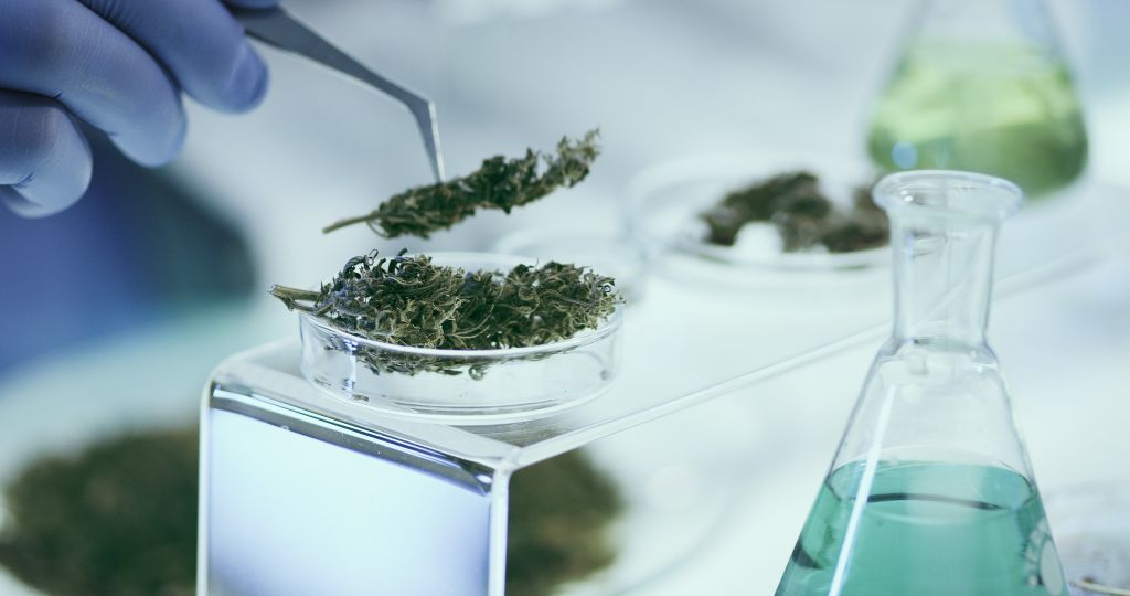 Hands in blue nitrile gloves hold tweezers to transfer medical marijuana buds to a petri dish; several Erlenmeyer flasks with liquid in them are seen in the background and foreground.
