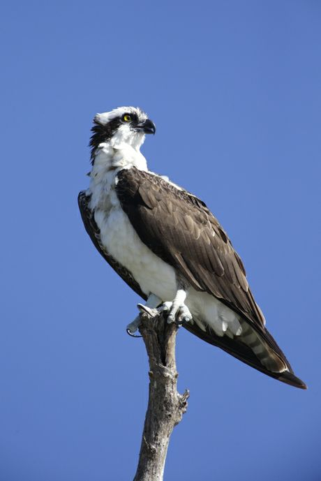 Due to it's proximity to Lake Norman, osprey are commonnly seen at McGuire Nuclear Station.