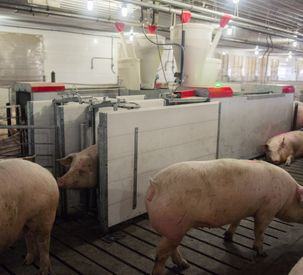 Electronic Sow Feeding Enhances Nutrition and Productivity at Tennessee Hog Farm