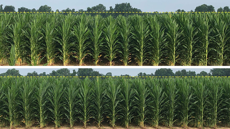 AGCO Crop Tour Harvest Report No. 1: Planter Compaction Yield Penalties