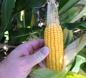 AGCO Crop Tour Harvest Report No. 2: Prioritize Seed Placement