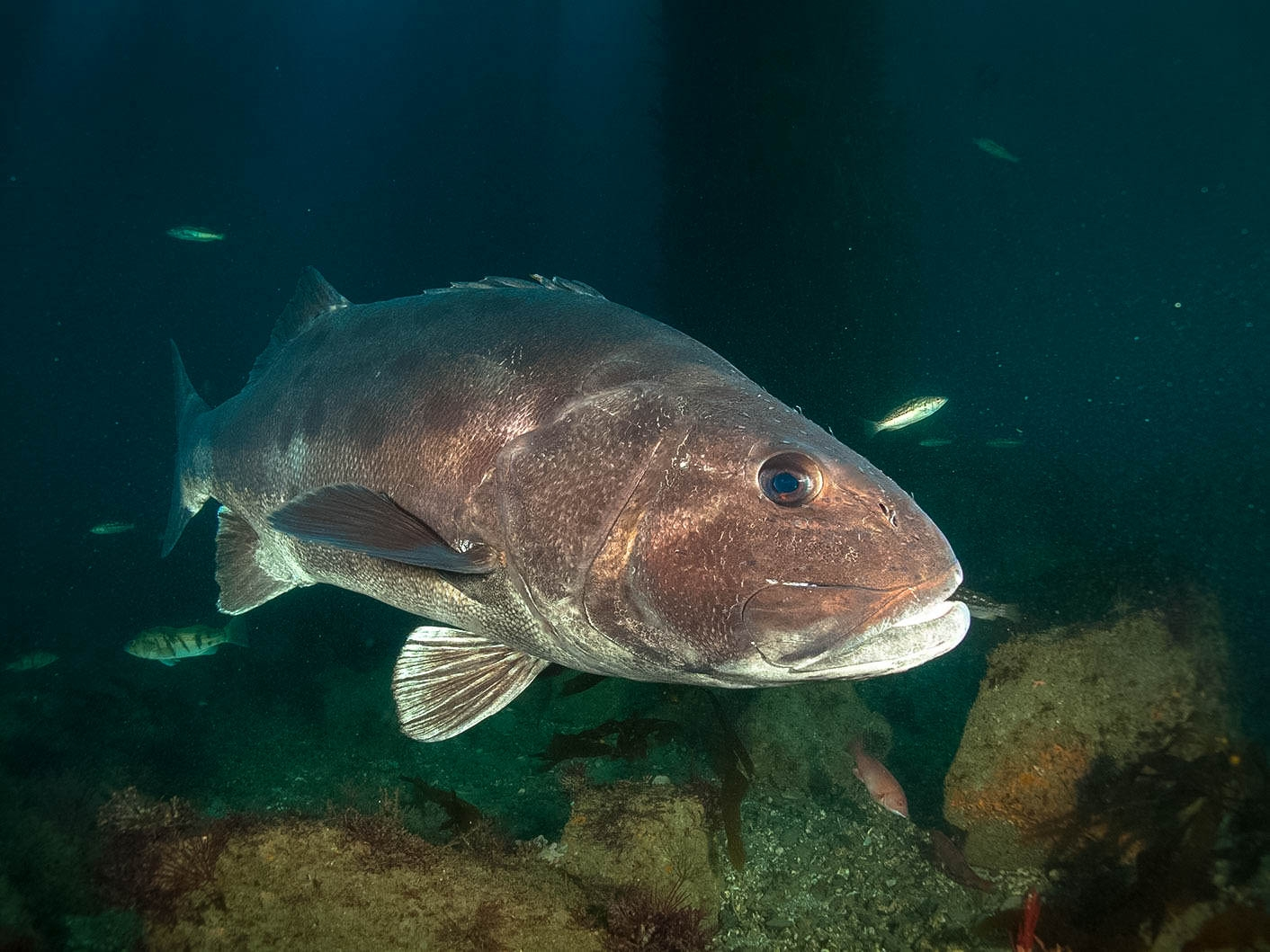 Giant Bass