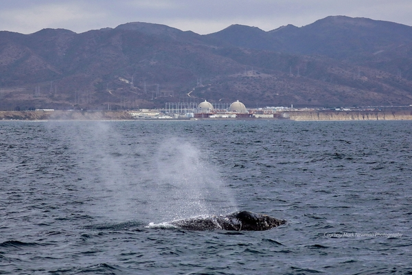 San Onofre Gray Whale edit