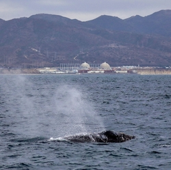 San Onofre Gray Whale